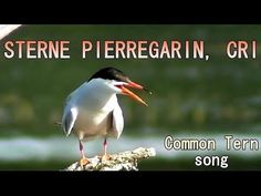 STERNE PIERREGARIN - Common Tern   Cry