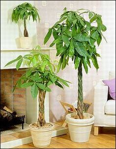 Money Tree.    I really have experienced more income since I started owning them. :-)