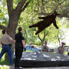 Jumping bear dahora