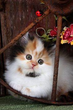 Gorgeous Calico Kitten!