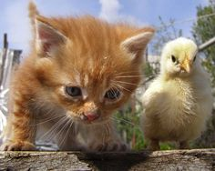 """While some cats might spot a helpless baby chick and think """"lunch,"""" this orange tabby kitten in Russia saw a friend in need of a helping paw. Baby pavlovskya hens are particularly susceptible to attacks from rats and other vermin, but this little chick stayed safe all spring, thanks to its frisky feline bodyguard."""