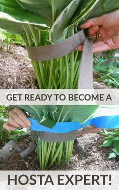 Gardening hacks for lush, beautiful hostas in your flower beds. How to care for hostas. Best gardening tips and tricks for growing hostas. Get ready - you're about to become a Hosta expert! Diy Gardening, Organic Gardening, Container Gardening, Flower Gardening, Vegetable Gardening, Gardening Gloves, Gardening Books, Allotment Gardening, Balcony Gardening