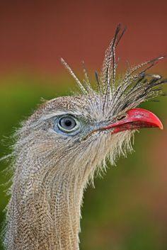 Foto seriema (Cariama cristata) por João Gabriel Cunha   Wiki Aves - A Enciclopédia das Aves do Brasil