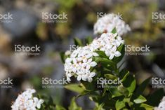 New Zealand native hebe Veronica Albicans in Flower. Abstract Photos, Veronica, New Zealand, Royalty Free Stock Photos, World, Flowers, Plants, Photography, Image
