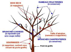 Taille des fruitiers 1