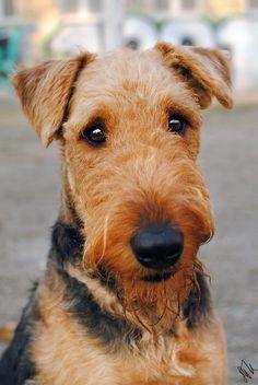 Airedale Terrier Dog Breed Information, Popular Pictures Airedale Terrier, Terrier Dog Breeds, Welsh Terrier, Terrier Dogs, Pitbull Terrier, Bull Terriers, Lakeland Terrier Puppies, Chien Akita Inu, Jack Russell Terrier