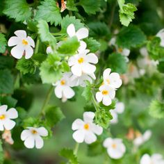 Bacopa: The Brain-Boosting Alternative Treatment to Psychotropic Drugs