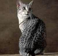 My dream Kitty Cat, an Egyptian Mau