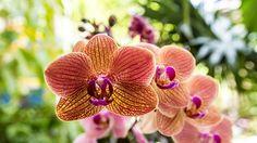 Bei der richtigen Pflege blühen Phalaenopsis-Orchideen das ganze Jahr. (Quelle: Thinkstock by Getty-Images)