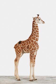 Baby Giraffe by (Jen Bekman)