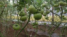 Fruit, Trellis, Green Houses, Growing Up, Plants