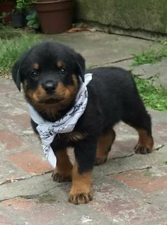 Image uploaded by Bosslady356. Find images and videos about love, cute and lol on We Heart It - the app to get lost in what you love. Baby Rottweiler, German Rottweiler, Rottweiler Dog For Sale, Puppy Images, Cute Puppy Pictures, Dog Pictures, Cute Puppies, Cute Dogs, Dogs And Puppies