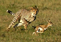 Leopard Catching Deer Very Fast - Animals Attack Anaconda Attack, Giant Anaconda, Anaconda Snake, Wild Animals Attack, Animal Attack, New Funny Videos, Dog Branding, India Tour, Baboon