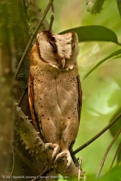 Sri Lanka Bay Owl (Phodilus assimilis). Photo by Rajneesh Suvarna.