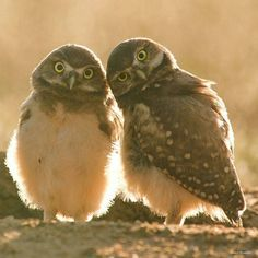 Amazing great pic. .!! .Credit : @dshowalter_photo - Backlit burrowing owls - Wondering what western burrowing owls would look like backlit back in July of 2005 I moved my blind to face the sun and waited in darkness... The chicks emerged from their natal burrow just after sunrise downy feathers glowing. In the west these charismatic diurnal owls use abandoned prairie dog burrows for nesting and brood rearing - they are state threatened in Colorado and one of the focal species on Audubon's…