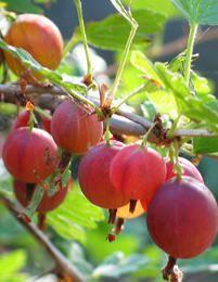 Karviainen Lepaan Punainen Meadow Garden, Veg Garden, Edible Garden, Garden Trees, Alaska, Summer Berries, Drops Design, Fruit Trees, Science And Nature