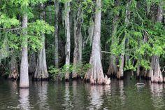 South Louisiana Cypress Trees by Bayou Momma