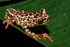 Dendropsophus leucophyllatus - giraffe frog