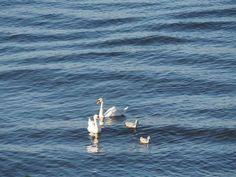Swan family cooler a hot day in Helsinki Pekka Saranpää