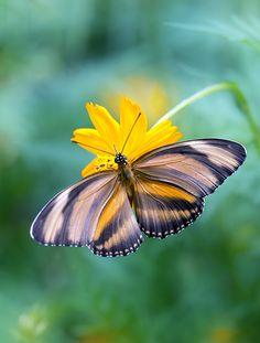 ~~happy | butterfly | by Enzo Davide~~