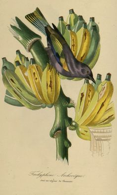 Banana - Musa paradisiaca - circa 1842