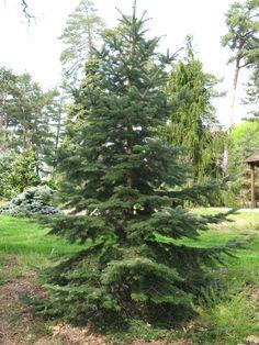 Nordmann Fir Real  Living Christmas Tree Nordman Fir Cell Grown Plug plants.
