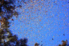 30 raros e deslumbrantes fenômenos naturais - Todo ano, milhões de borboletas monarcas migram do Canadá e EUA para o México, criando essa cena surreal.