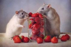 Trademark Global Ellen Van Deelen 'Rats Strawberries' Canvas Art - 47 x 2 x 30 Strawberry Art, Cute Rats, Rodents, Hamsters, Cute Animals, Small Animals, Animals Beautiful, Baby Animals, Funny Animals