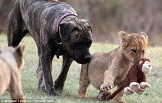 They may be the kings of the jungle, but these lion cubs are pussy cats when it comes to their surrogate mother.   Thanks to Beth the crossed mastiff's mutt-erly instincts she has raised a pride of 12 mighty lions. Not afraid of a bit of rough and tumble with these mini-kings of the jungle, Beth the lion-nanny happily frolics, nurses and acts as a surrogate mother to newly born cubs at a South African lion sanctuary.