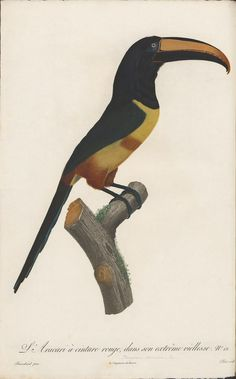 book illustration of toucan Bird Illustration, Botanical Illustration, Toucan, Zoology, Thing 1, Bird Prints, Natural History, Animal Drawings, Art Images