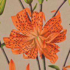 Tiger Lily (detail) Arentine H Arendsen Lithograph 1875 #BrunswickHouse #Interiors by jackson_boxer