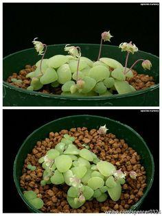 一种特别的青锁龙属植物-银富鳞 Crassula nemorosa. These would be great in a fairy garden!!
