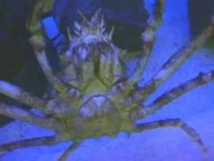 spider crab video for ocean theme - educational