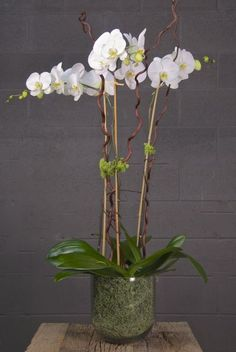 Houstons online indoor plant & pot store - Triple White Moth Orchid