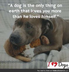 Uplifting So You Want A American Pit Bull Terrier Ideas. Fabulous So You Want A American Pit Bull Terrier Ideas. Dog Pitbull, Pitbull Terrier, Pitbull Pics, Bull Terriers, Pit Bull Puppies, Pit Dog, Havanese Puppies, Rottweiler Puppies, Pekingese