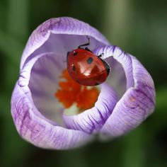 Ladybug checking the crocus bloom