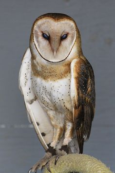 Beautiful Owl, Animals Beautiful, Cute Animals, Owl Photos, Owl Pictures, Owl Bird, Pet Birds, Snowy Owl, Baby Owls