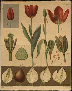 Botanical print - tulip-