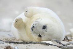 llbwwb:   Todays Cuteness :) (via 500px / Kegelrobbenbaby by Hendrik Helm)