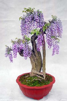 """asylum-art: """"Wisteria bonsai proves big beauty comes in small packages-DDN Japan As you probably already know, bonsai is the Japanese art of growing miniature trees or shrubs in planters. Wisteria Bonsai, Bonsai Plants, Bonsai Garden, Ikebana, Terrariums, Bonsai Styles, Miniature Trees, Small Trees, Flower Seeds"""