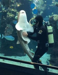 Watch A Playful Shark Bask In The Glory Of An Epic Belly Rub Think all sharks are just blood-hungry beasts? Think again: This playful shark is straight-up lovable. Save The Sharks, All Sharks, Cute Funny Animals, Funny Cute, Beautiful Creatures, Animals Beautiful, Animals And Pets, Baby Animals, Leopard Shark