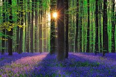 Every spring, Hallebros, or Bois de Hal (Halle Forest in Dutch), a beautiful 552 ha forest, is carpeted with a thick layer of bluebell flowers.