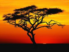 Inspired by the gorgeous Kenyan sunset with the silhouette of the Acadia tree