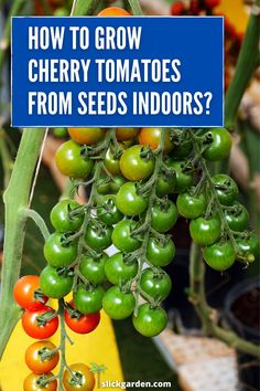 How to grow cherry tomatoes indoors from seeds? The main advantage of growing cherry tomatoes indoors is that they will ripe faster than regular tomatoes. Most of the variety of cherry tomatoes will start to produce flowers within one month. Growing Veggies, Planting Vegetables, Healthy Vegetables, Planting Seeds, Growing Plants, Freezing Cherry Tomatoes, How To Grow Cherries, Cherry Tomato Plant, Tomato Seedlings