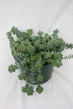 Crassula perforata - Succulent Gardens