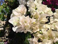 Different Seasons, Bougainvillea, Flower Pictures, Greek Islands, How To Look Pretty, Spring, Flowers, Plants, Greek Isles