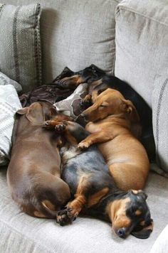 Doxie pile