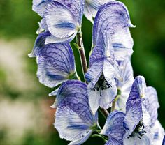Aconitum x cammarum Stainless Steel Common Name: Monkshood  Hardiness Zone: 3-6 S / 3-8 W  Height: 3-4' Exposure: Full or Part Sun  Blooms In: July-Aug