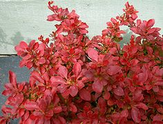Common Name: Japanese barberry  Cultivar: Admiration  Family: Berberidaceae  Genus: Berberis  Species:  thunbergii  Type: shrub, deciduous  Flowering: May to June  Hardiness: zones 3 to 10  Height: 1 1/2 feet  Spread: 4 feet  Soil pH req.: 6.1 (mildly acidic) to 7.8 (mildly alkaline)  Water Use: average  Exposure: full sun to partial shade  Flower scent: fragrant  Propagation Methods: By dividing the rootball  Provide well-drained soil. Each year, before new growth, prune on the oldest…