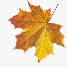 This high quality free PNG image without any background is about autumn, leaves, plant and seasonal. Fall Leaves Png, Winter Leaves, Fallen Leaves, Tree Leaves, Plant Leaves, Flower Border Png, Fall Wallpaper, Yellow Leaves, Leaf Art